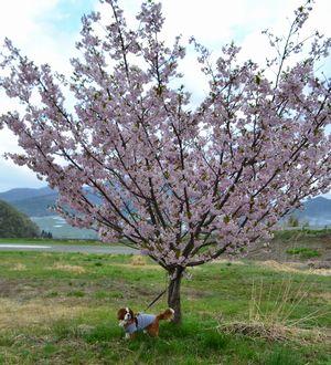 003桜シュザク