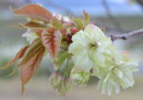016鬱金桜
