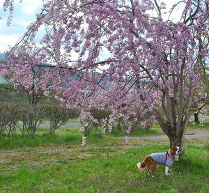 018しだれ桜