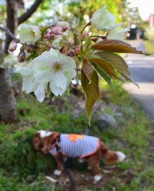 008鬱金桜