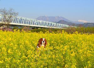 004菜の花・橋