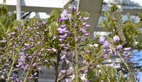 012藤の花