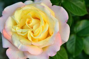 014薔薇