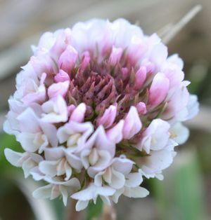 018桃色白詰草