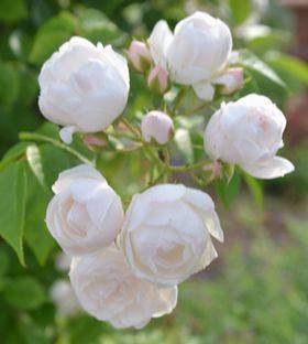 024白バラ