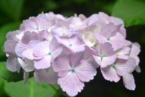 025紫陽花