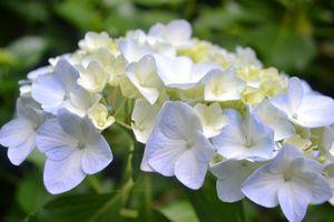 026紫陽花