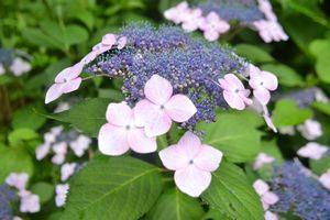 030紫陽花