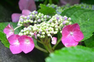037紫陽花