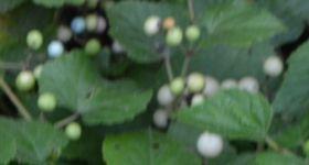 011野葡萄