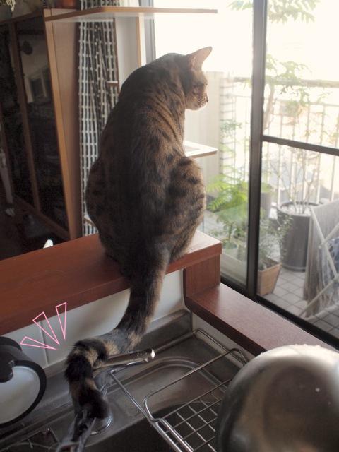 ベンガル猫サイファ