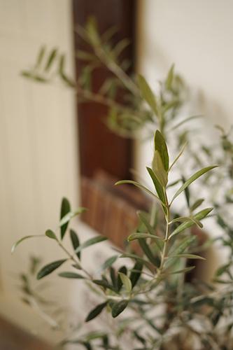 オリーブの苗