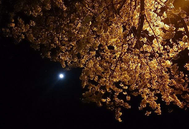 大河原夜桜2014-4縮小