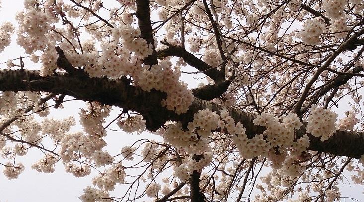 加瀬沼桜2014