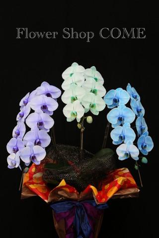 珍しい胡蝶蘭 カラフル 花