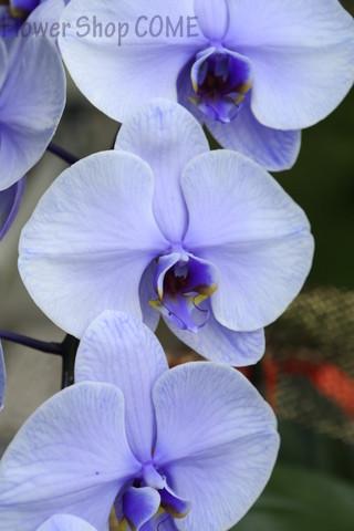 紫 胡蝶蘭
