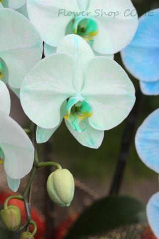 緑胡蝶蘭 珍しい胡椒蘭