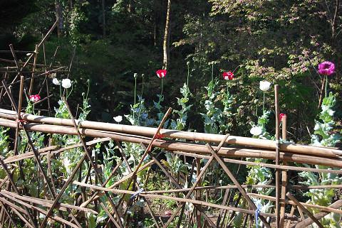 ケシの花園