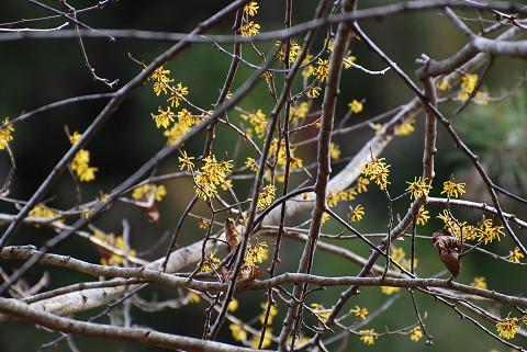 マンサクの花が咲いていた