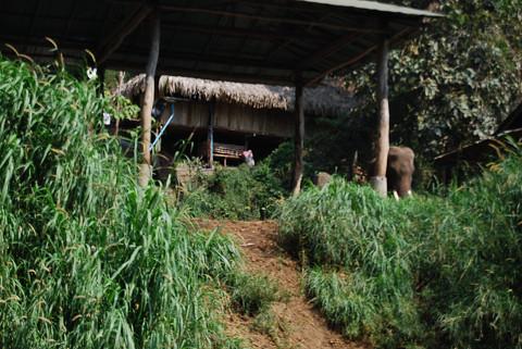 飼われている象