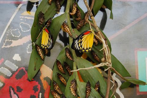 幼虫といっしょ?きれいなチョウ