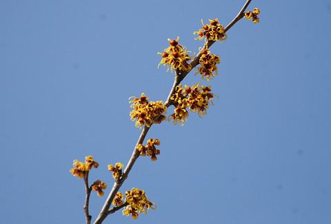 マンサクの花が青空に