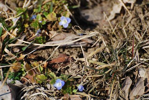 オオイヌノフグリ開花