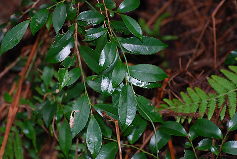 ヒサカキの葉と枝の緑
