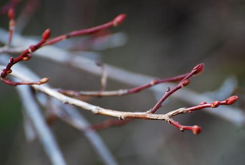 ネジキの冬芽がきれい