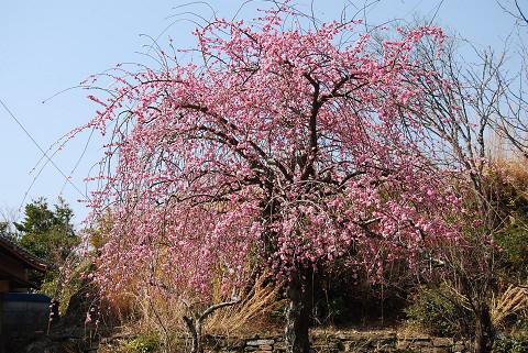 天音寺境内の桃の木