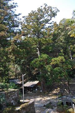 天音寺の大杉