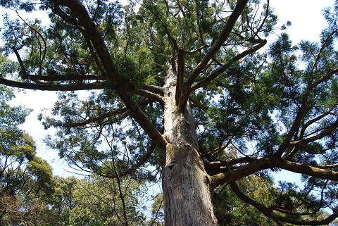 天音寺の大杉をアップ