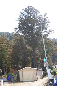夏山の大杉全景