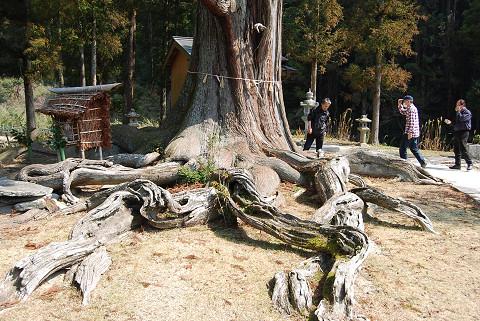 大杉の根がすご