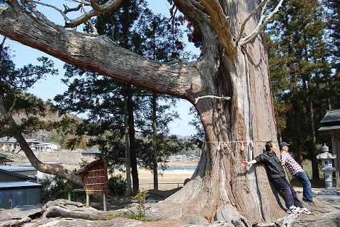 大杉の根の太さは
