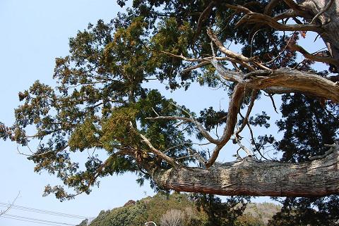 大杉の大きな枝が