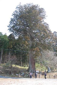 切山の大杉の全貌