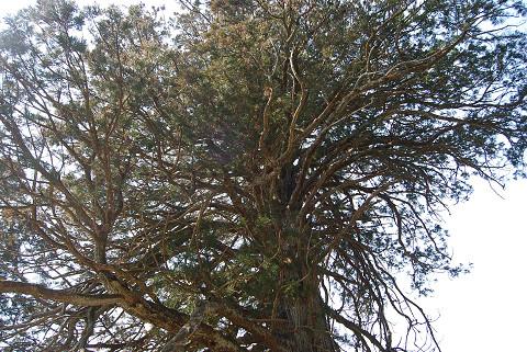 大杉の樹冠