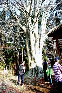 文珠山の巨木ブナ