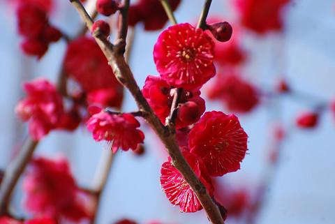 紅梅が美しい