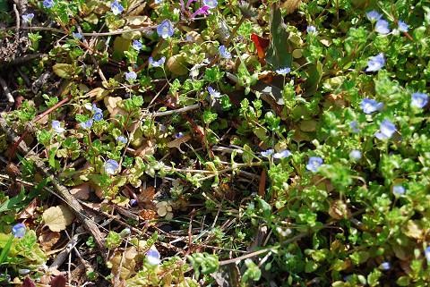 庭のオオイヌノフグリ