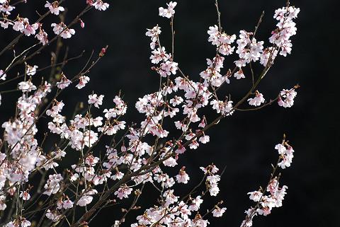 サクラの花は美しい
