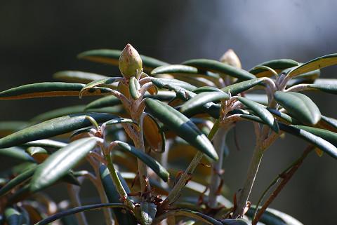 ホソバシャクナゲの冬芽が