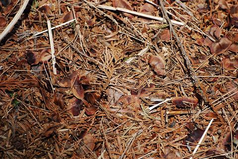 モミの種がいっぱい