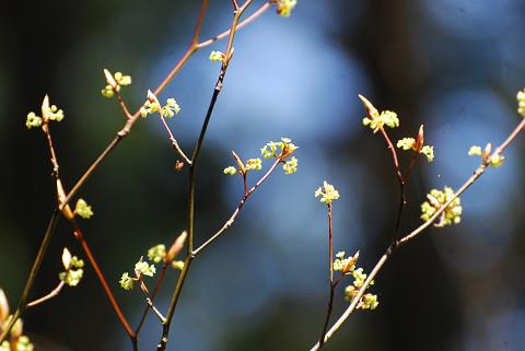 シロモジの花が1