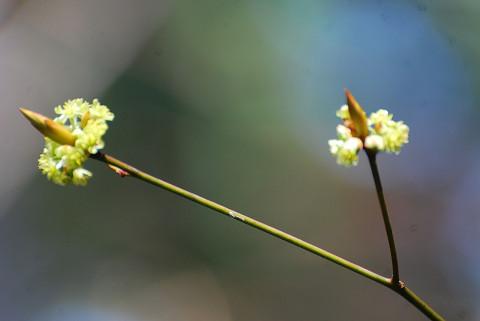 シロモジの花が3