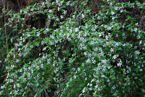 ノイバラの白い花