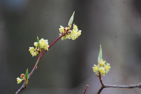 シロモジの花をアップ