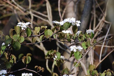 ムシカリの花が (2)