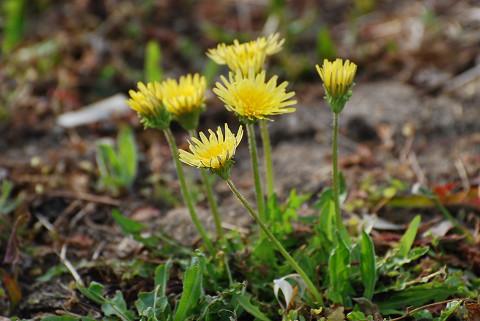 ニホンタンポポの花は